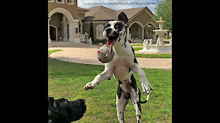 Funny Face Great Dane Almost Catches A Ball