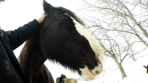 Clydesdale gets relaxed and drowsy during head massage