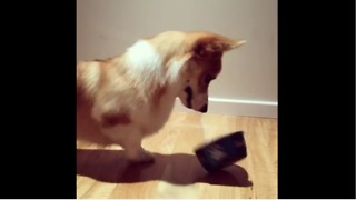 Corgi realizes his legs are too short - Video