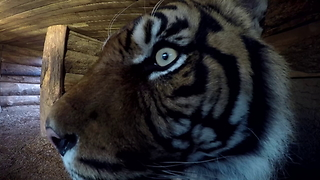 Getting Close To A Sumatran Tiger - Video
