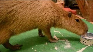 JoeJoe the Capybara Has Terrible Table Etiquette - Video