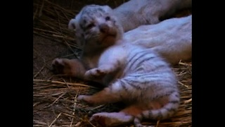 Ultra-rare White Tiger Cubs - Video