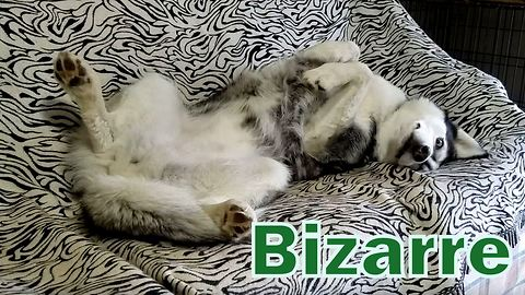 Peep out at Siberian Husky's awkward sleep position