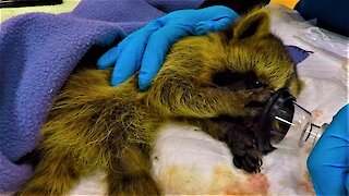 Rescued baby raccoon wakes up from anesthetic in the cutest way