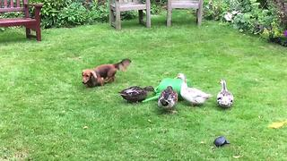 Ducks defend their watering can from Dachshund