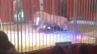 Lion Attacks Trainer During Performance at French Circus - Video