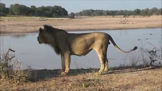 Battle of Roars Between Lion Prides in Zambia - Video