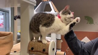 Pet of the Weekend: Athena, a loving 7YO shorthair cat