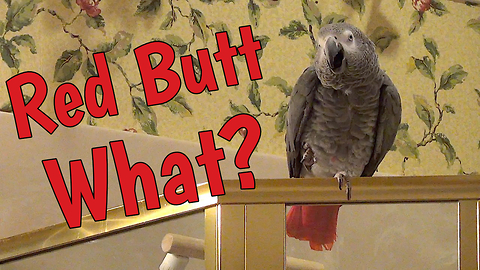 Parrot creates his own mash-up with some hysterical words!