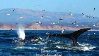 Humpback Whales and Sea Lions Feed Together in Monterey, California - Video