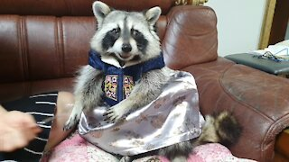 Raccoon wears traditional Hanbok outfit to celebrate holiday