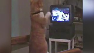 Orange Cat Absolutely Loves Boxing