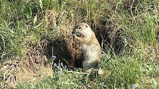 Life of wild animals. Gopher eats young grass.