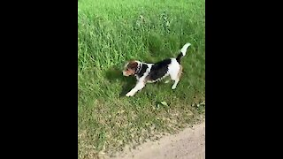 Jack Russell hilariously hops like a gazelle