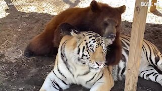 The unlikely friendship between a tiger and a bear