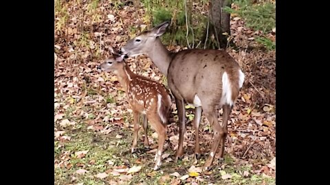 Mother deer affectionately, loving and bonding with her new fawn