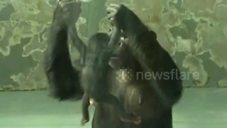Chimpanzee gives birth at Chinese zoo - Video