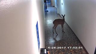 Deer gets lose inside Concordia University - Video