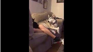Jealous Husky Throws Epic Tantrum When His Owner Pets A Cat - Video