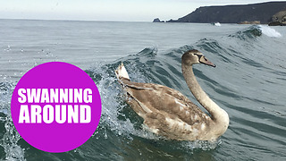 A group of surfers were delighted when they were joined on the waves by swans - Video