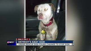 Sweet dog rescued by Detroit Pit Crew after being found chained to a stop sign - Video