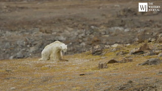 Activists 'Stood There Crying' While Filming a Dying Polar Bear, Immediately Blame Global Warming - Video