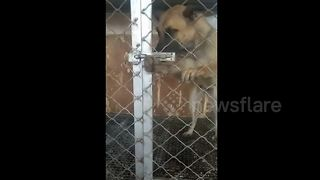 Clever dog works latch to escape kennel - Video