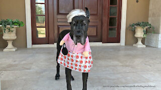 Great Dane models her grannie Halloween costume