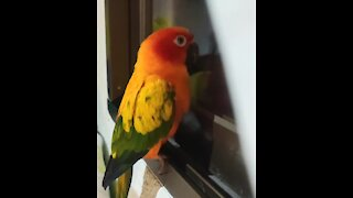Beautifully colored parrot loves to dance for the neighbors