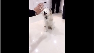 Watch This Adorable Samoyed Puppy Wave Hello On Command - Video