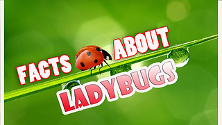 LADYBUGS EGGS, FACTS ABOUT LADYBUGS  - Video