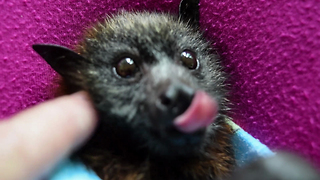 Orphaned baby bat loves to be pet - Video