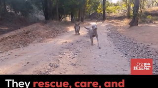 Goats Play on Rhinos in Sanctuary