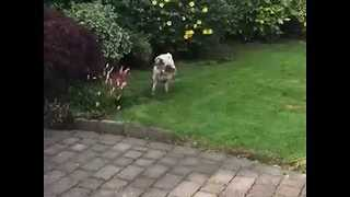 Pug's Unusual Need to Handstand While Peeing - Video