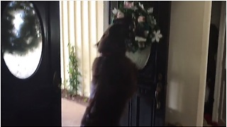 Holiday-loving dog fascinated by new house decorations - Video
