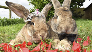 I Doe! World's biggest bunnies tie the knot - Video