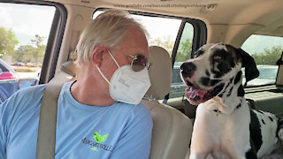 Friendly Great Danes Are Covid 19 Drive Thru Vaccine Therapy Dogs