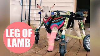 Adorable footage shows disabled lamb taking its first steps with a special stroller - Video