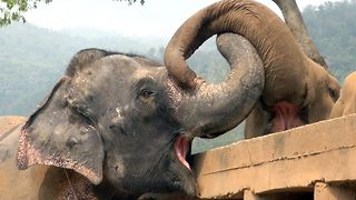 Blind Elephant Greeted Lovingly For The First Time By New Herd