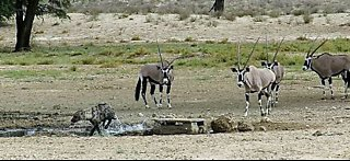Fearless oryx chase hyena away from watering hole - Video