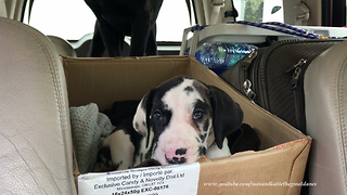 Great Dane puppy goes on first road trip with new family