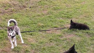 Puppy walks husky friend on leash