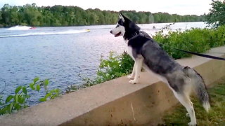 Siberian Husky extremely fascinated by jet ski race - Video