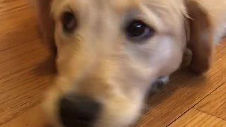 Playful Golden Retriever Puppy Won't Eat Her Vegetable Treat