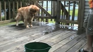 Golden Retriever Picks A Fight With Crab