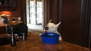 Cat grabs a drink while Great Dane grabs dinner