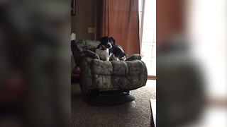 Funny Dog Tips Over A Rocking Chair