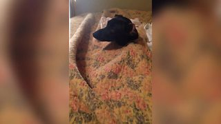 Cute Dog Gets Stuck In A Blanket - Video