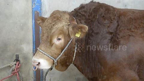 Farmer who was trampled by award-winning bull is reunited with the animal