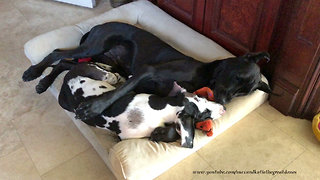 Great Dane plays in doggy bed with puppy friend